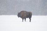 Bison (zubr) tour in the wild